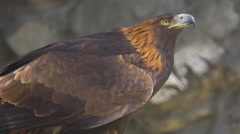 Golden eagle close-up Stock Footage