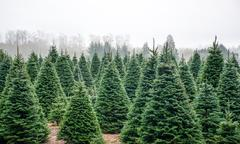 Christmas Tree Farm near Satsop Wa in winter.  Olympic Peninsula - stock photo