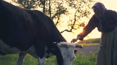Rural senior trying to care about the grazing cow. RAW video record Stock Footage