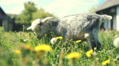 Youthful goatling among rural nature. RAW video record - stock footage