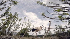 The stork protecting from another bird. Slow motion Stock Footage