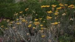 Helichrysum italicum Stock Footage