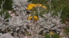 Jacobea maritima, silver ragwort, flowers Stock Footage