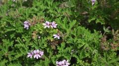 Pelargonium capitatum Stock Footage