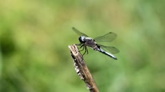 Dragonfly on a dry flower stalk. - stock footage