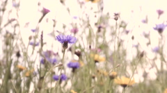 Soft focus and warm tone during sun set of slow motion of blue flower. Stock Footage