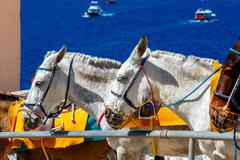 Donkeys for horse riding in the village Fira Stock Photos