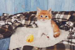 Red orange cute kitten at blue wood Stock Photos