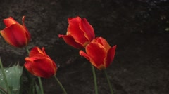Red tulips 02 Stock Footage