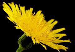 Yellow poisonous wildflower on black background as sonchus arvensis, closeup - stock photo
