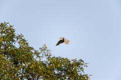 Black-crowned Night-Heron adult in flight - stock photo