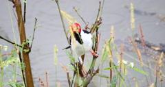 Bird cabecinha vermelha. Paroaria capitata. Pantanal, Wetlands, Brazil. Stock Footage