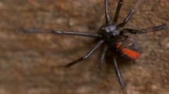 Redback red back Spider Latrodectus hasseltii Stock Footage