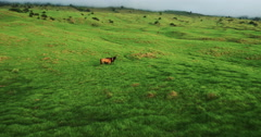 Aerial view flying over horses in beautiful green countryside Stock Footage