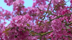 Cherry blossom on tree and bees flying and foraging - Rack focus Stock Footage