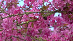Japan cherry tree blooming - close up, panoramic Stock Footage