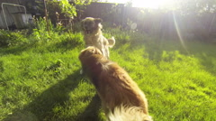 Two dogs playing on the green lawn of the back yard by the light of sunset Stock Footage