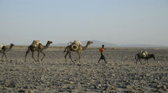 Camel caravans carrying salt through the desert in the Danakil Depression Stock Footage