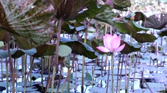 Lotus flower garden Stock Footage