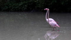 Pink flamingos on the lake Stock Footage