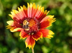 Gaillardia flower with bumble bee - stock photo