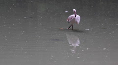 Pink flamingo on the lake - stock footage