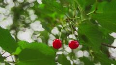 Tasteful cherries in the wild - stock footage