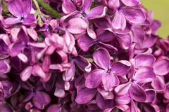 Blossoming Syringa vulgaris - stock photo