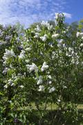 Blossoming Syringa vulgaris Stock Photos