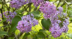 Blossoming Syringa vulgaris - stock photo