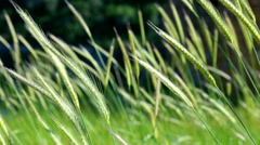 Slow movement of cones of green wheat close up. In a sunny day in the spring Stock Footage