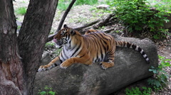 Tiger relaxing on the log Stock Footage