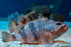 Blackbelly Rosefish underwater close up portrait while scuba diving - stock photo