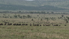 Wildebeests ( Connochaetes taurinus) walking in lines Stock Footage