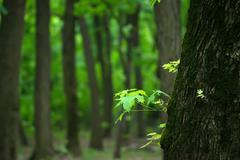 Maple trees in park - stock photo
