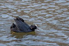 Eurasian coot or Fulica atra in water - stock photo