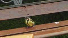 Chicks feeding, 4k video Stock Footage
