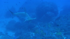 Hammerhead Shark swims in blue sea search of food. - stock footage