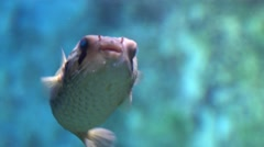 Puffer fish close-up shallow depth of field Stock Footage