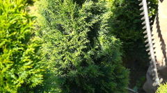 Gardener trimming thuja in green park with electric trimmer. Stock Footage