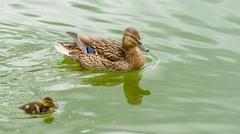 Mother Duck With Small Ducklings On Water Stock Photos