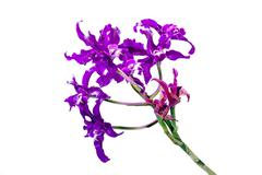 Purple Orchid Flowers on Green Stem - stock photo