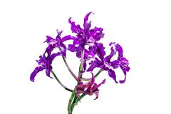Stem of Purple Flowers on Hybrid Orchid - stock photo
