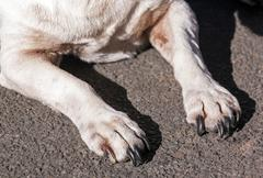 Close up of Black Claws on White Dogs Paws - stock photo