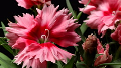 Pink Dianthus Time-lapse Stock Footage