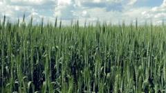 Field of green wheat ears Stock Footage