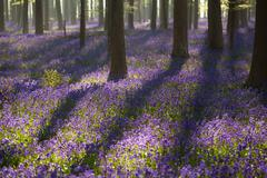 Flowering bluebells in spring forest Stock Photos