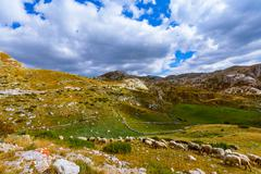 Sheeps in National mountains park Durmitor - Montenegro Stock Photos