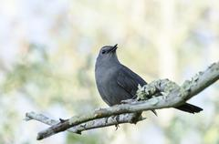 Gray Catbird on branch - stock photo