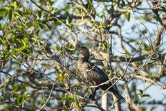 Double-crested Cormorant late afternoon - stock photo